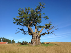 Second largest oak tree in Norway