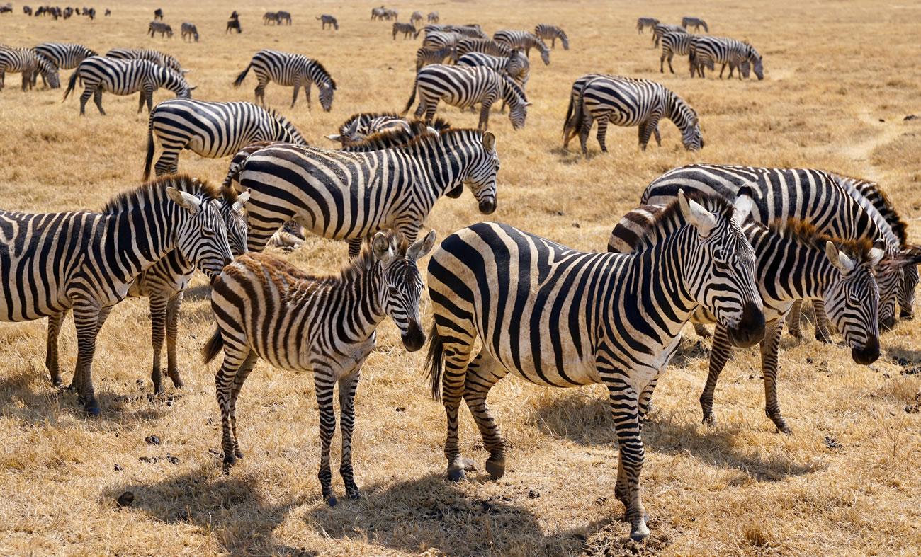 Zebra Herd, Ngorongoro Conservation Area, Tanzania